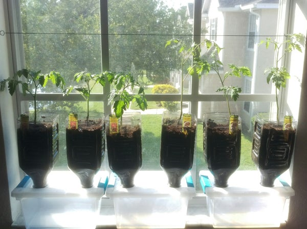 DIY Tomato Window Garden