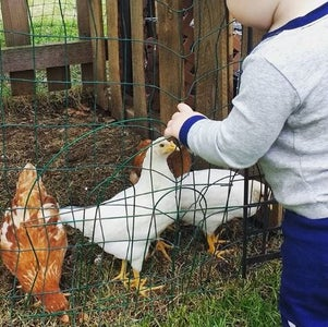 Everyone Loves Chickens!