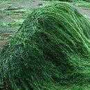 Algae Experiment