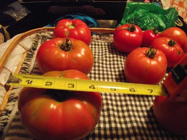 Tomato Hot House