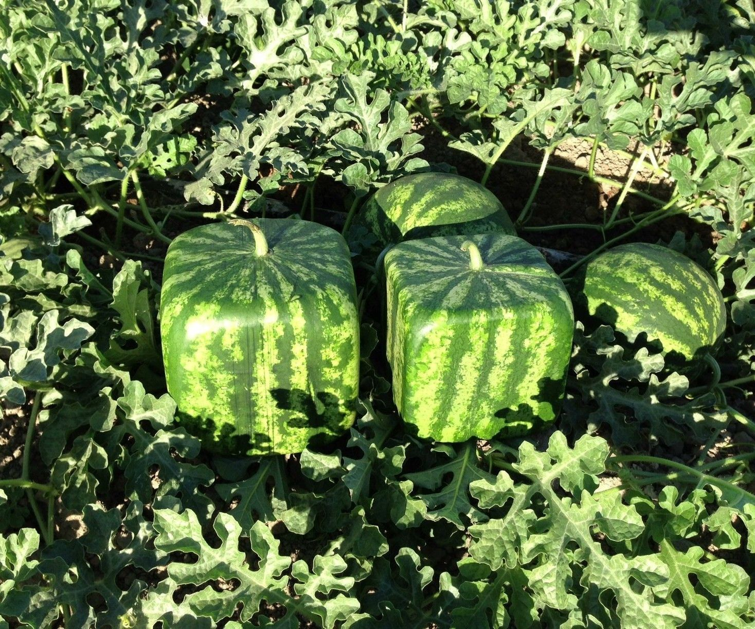 how to make square shape watermelon