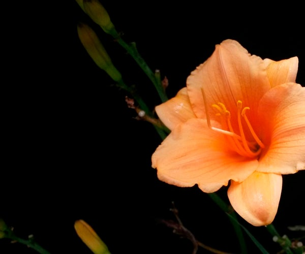 Shoot Flowers With a Black Background With a Cellphone Under $2
