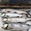 How to Fillet a Fresh Caught Salmon