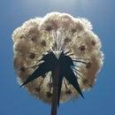 Giant Fractal Dandelion