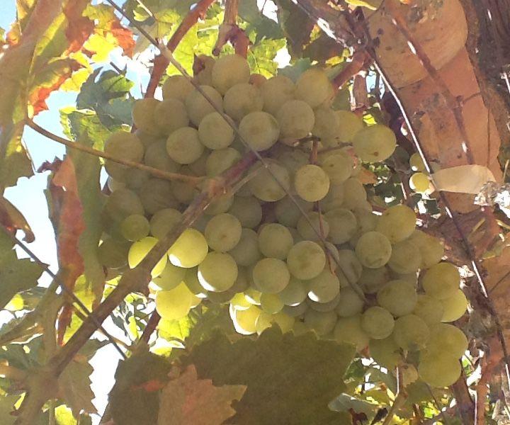 Home made grape gelly/jam