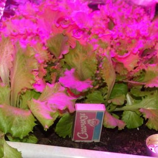 Grow High Light Plants Indoors Without Hydroponics