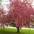 My Crab Apple Tree