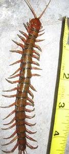 Designing the Centipede