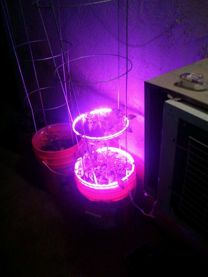 LED Grow Lights - FertiLight Halo Rings (Tomato Plant)