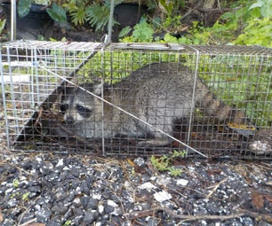 Nuisance Raccoon Trapping