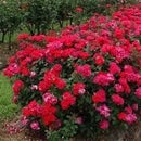 How to Trim Knockout Roses