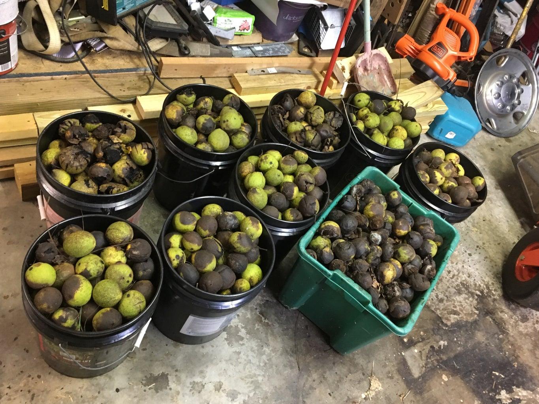 Harvesting and Processing Black Walnuts