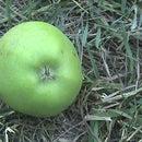 Harvest Apples Organically