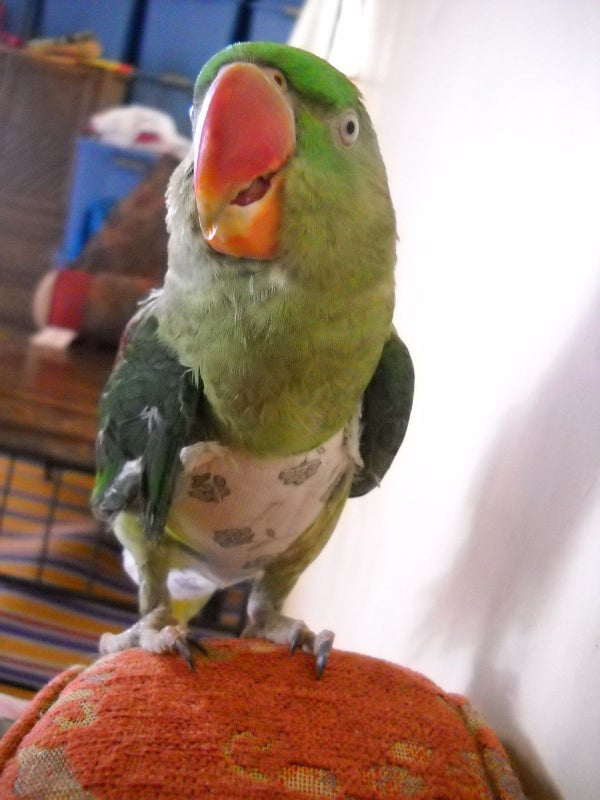 Make a Parrot Suit or Diaper for Your Feathery Pal.