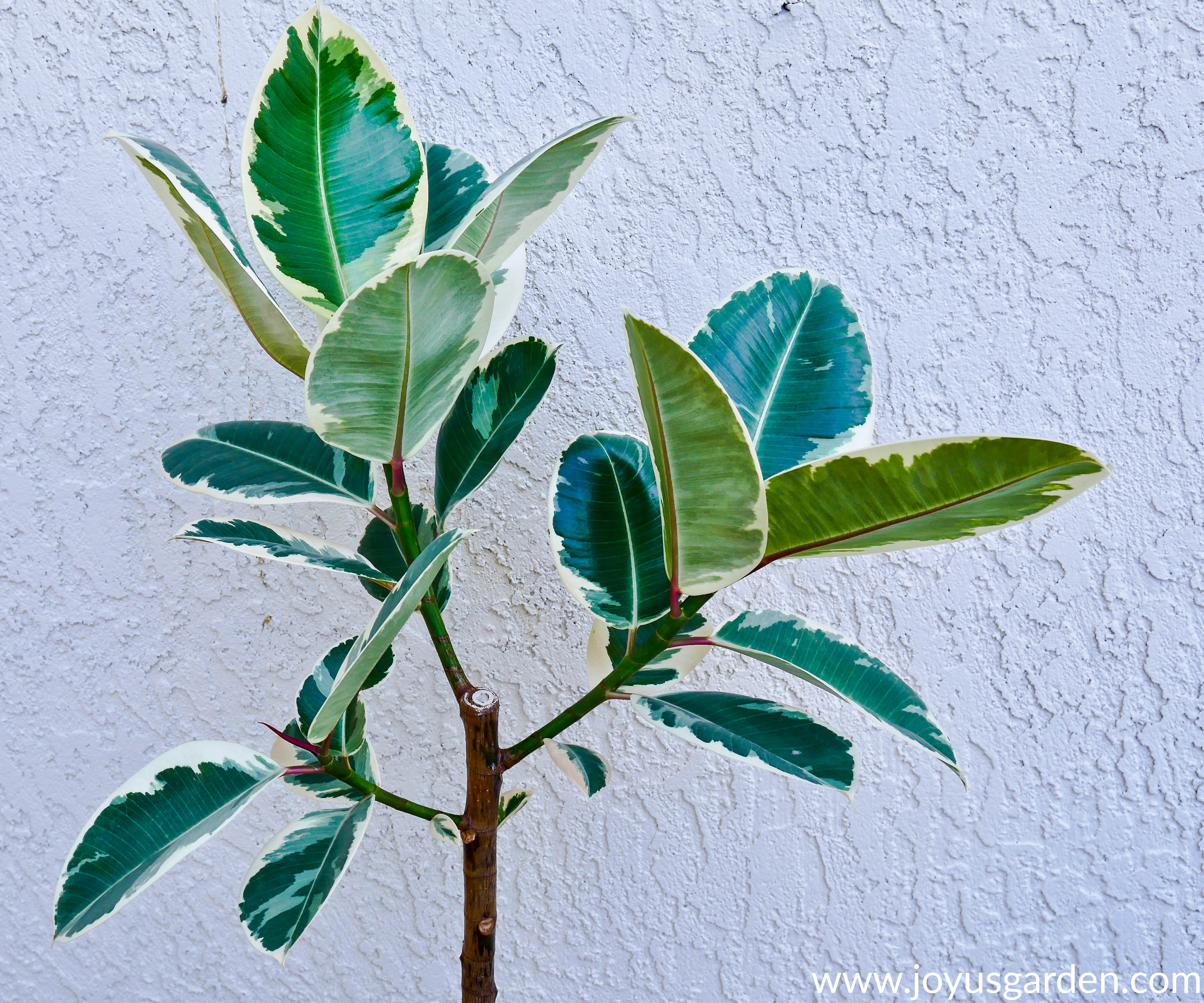 How to Plant Baby Rubber Plant Cuttings