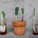 Experiment to see if green onions regrow better in water or soil