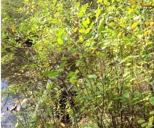 Invasive Species Control:  a Hands-on Environmental Project