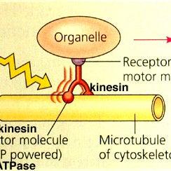 MolecularMotor-kinesin.JPG