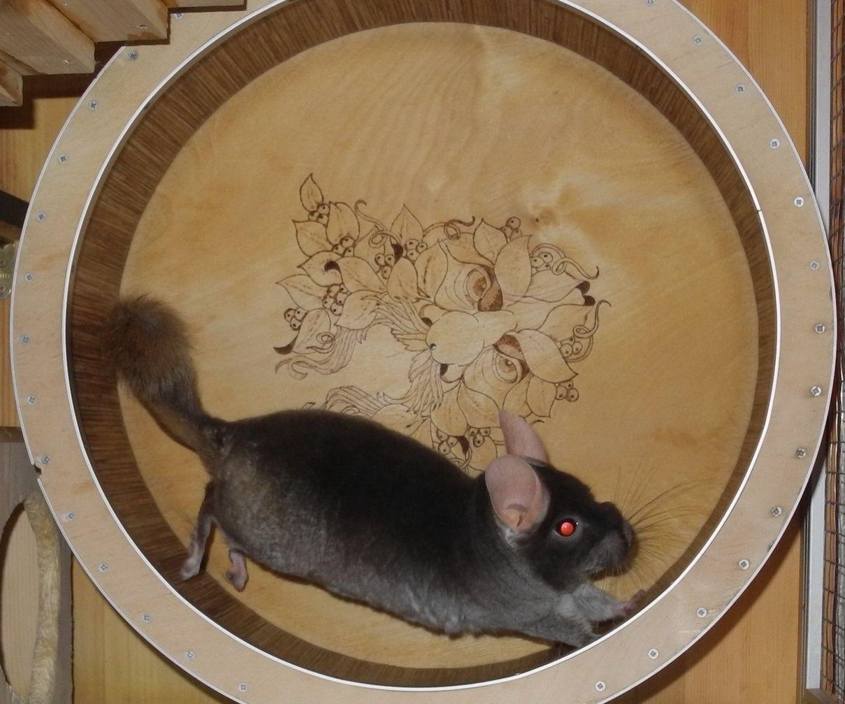 Chinchilla exercise wheel