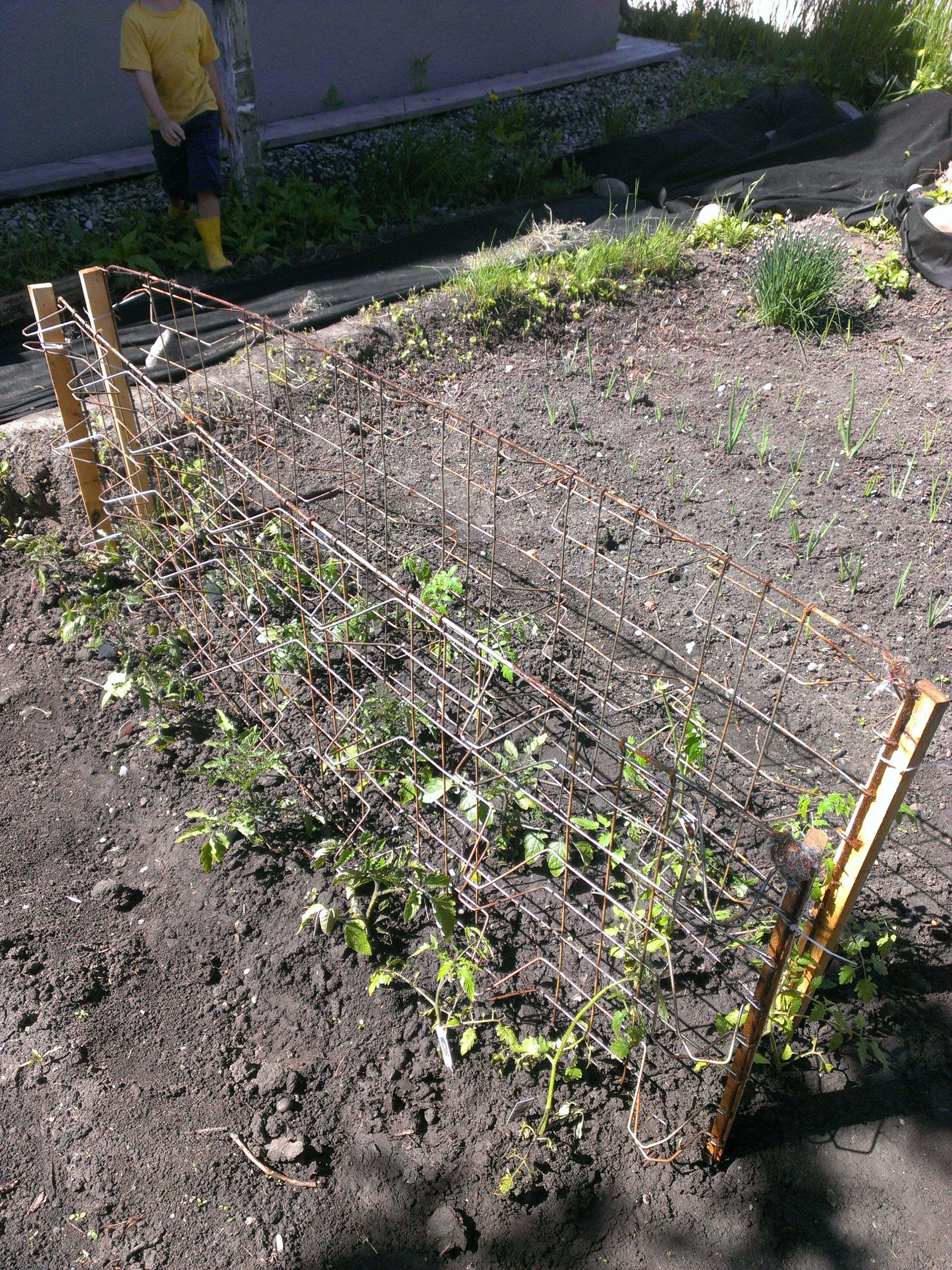 Box Spring Tomato Lattice