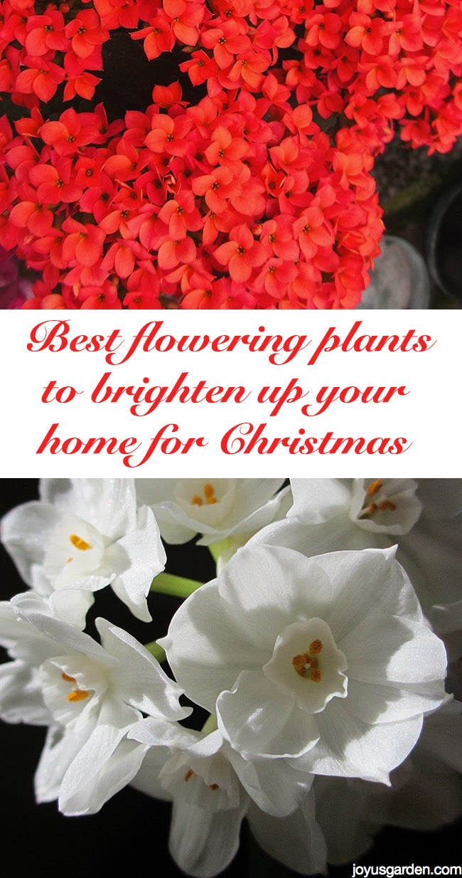Best Flowering Plants to Brighten Up Your Home for Christmas
