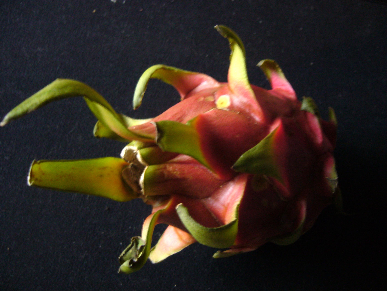 Grow dragonfruit from seeds (Hylocereus undatus)