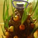 Onions box