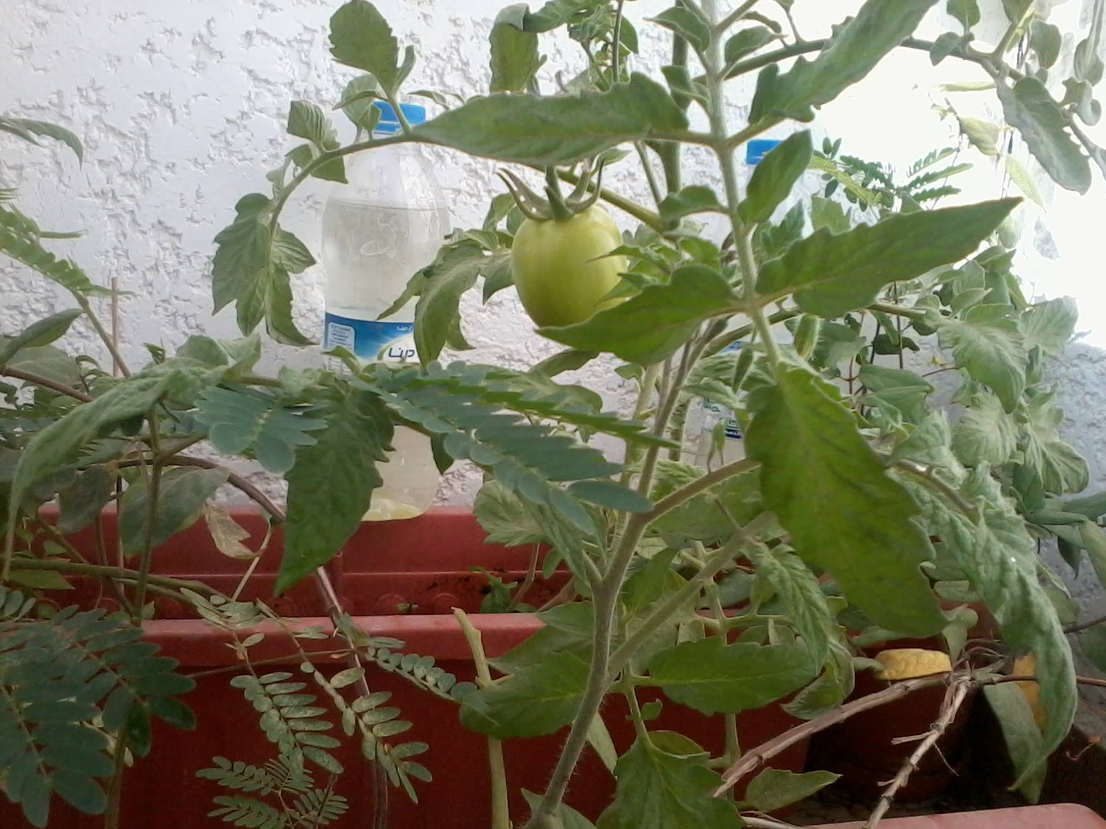 Tomato Gardening - Seeds To the Fruit