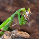 How to Feed your Praying Mantis