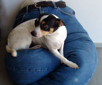 """No-Sew Blue Jeans Portable """"Lap"""" Dog Bed!"""