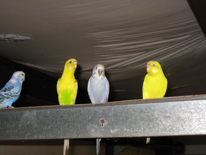 Natural Branch Parakeet (Budgie) Perch