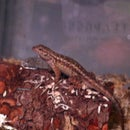 How To Set Up A Habitat For Your Blue Belly Lizard