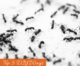 Top 5 DIY Ways to Get Rid of Ants