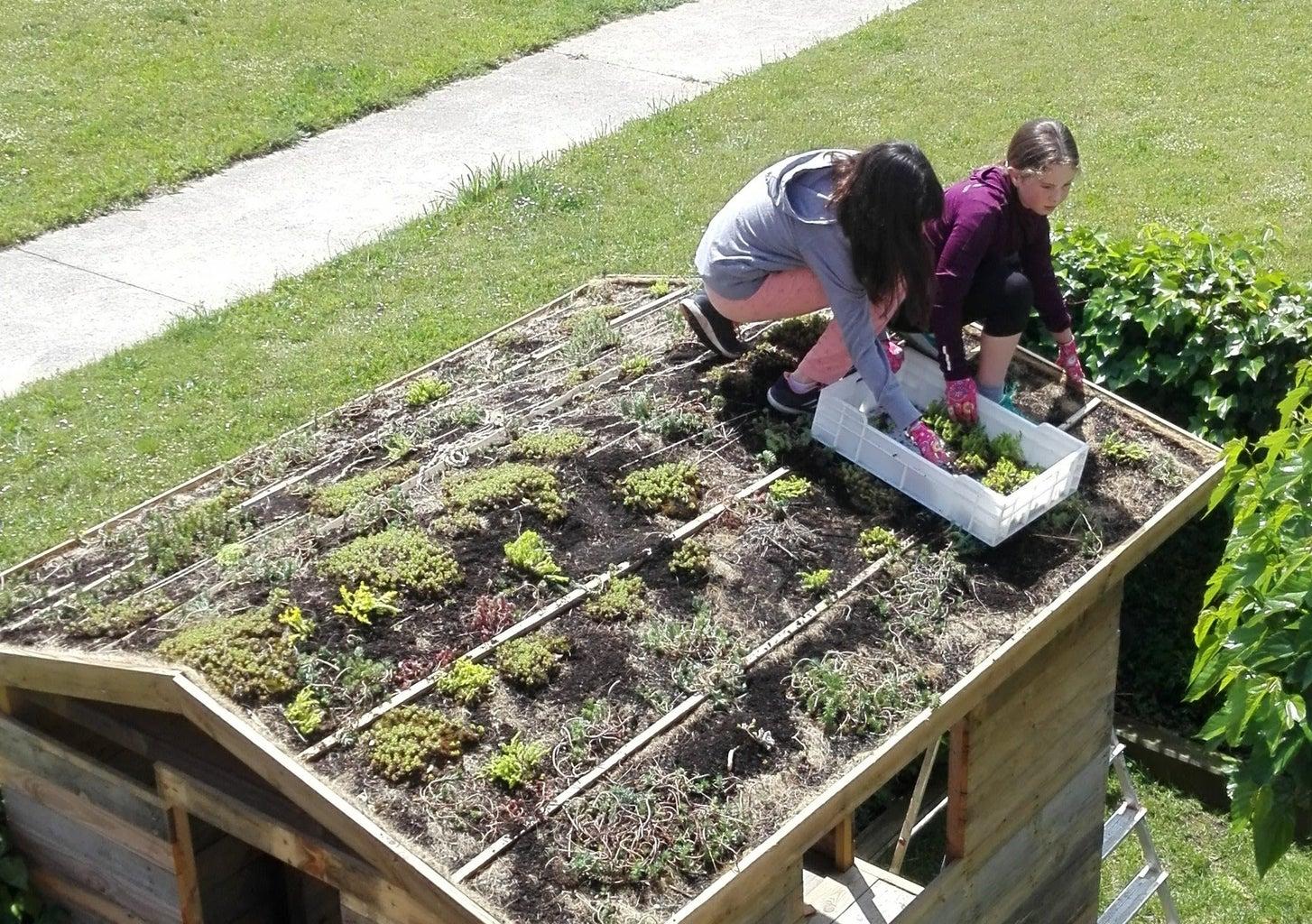 Planting the Sedum