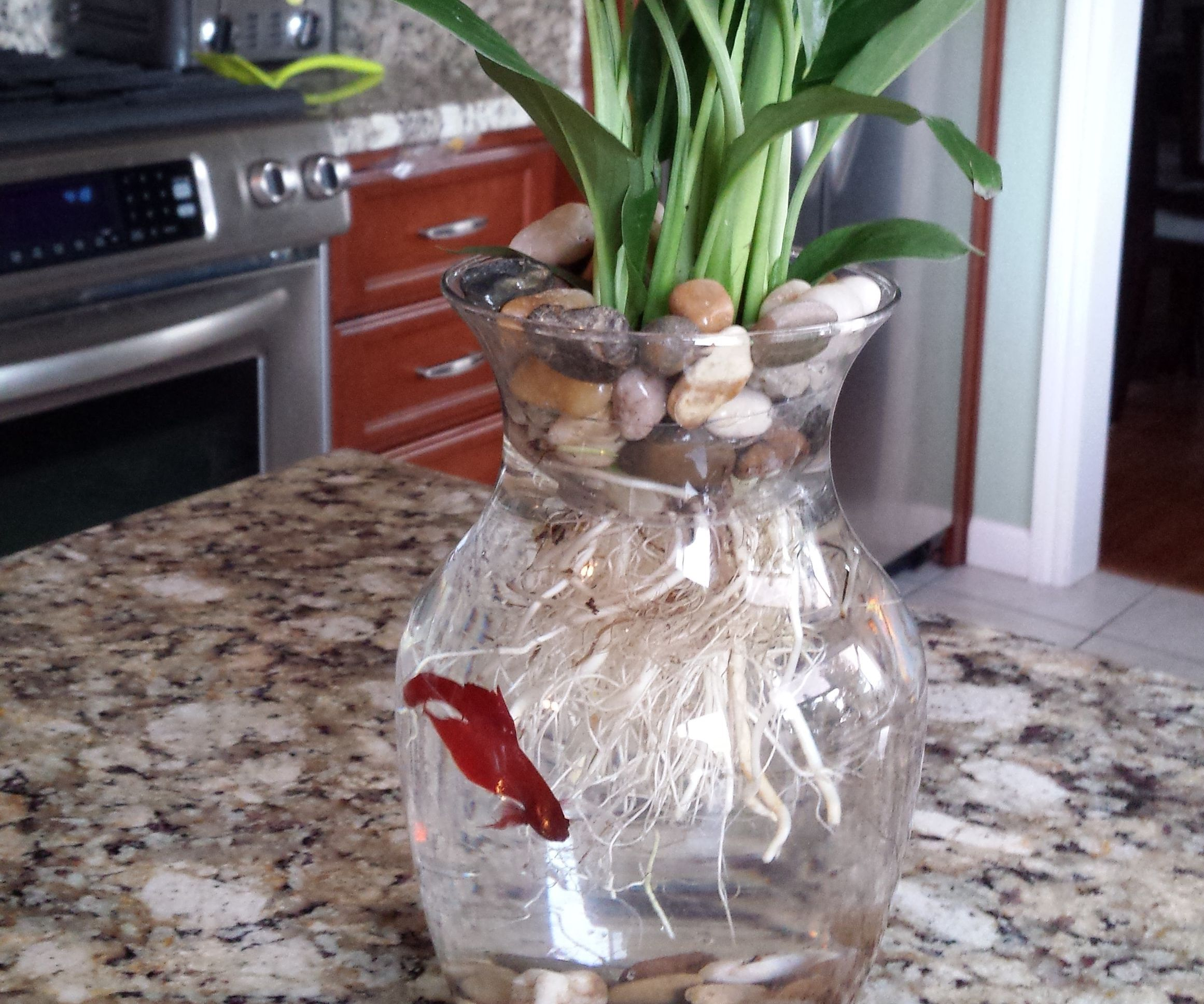 $8 Betta Fish & Flower Vase