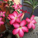 Save Desert Rose Seeds