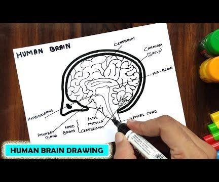 HOW TO DRAW HUMAN BRAIN EASY