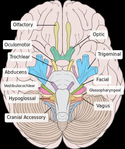 Examining the Trigeminal Nerve