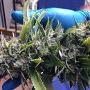 Trimming and Drying Cannabis