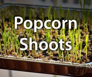 How to Grow Popcorn Shoots
