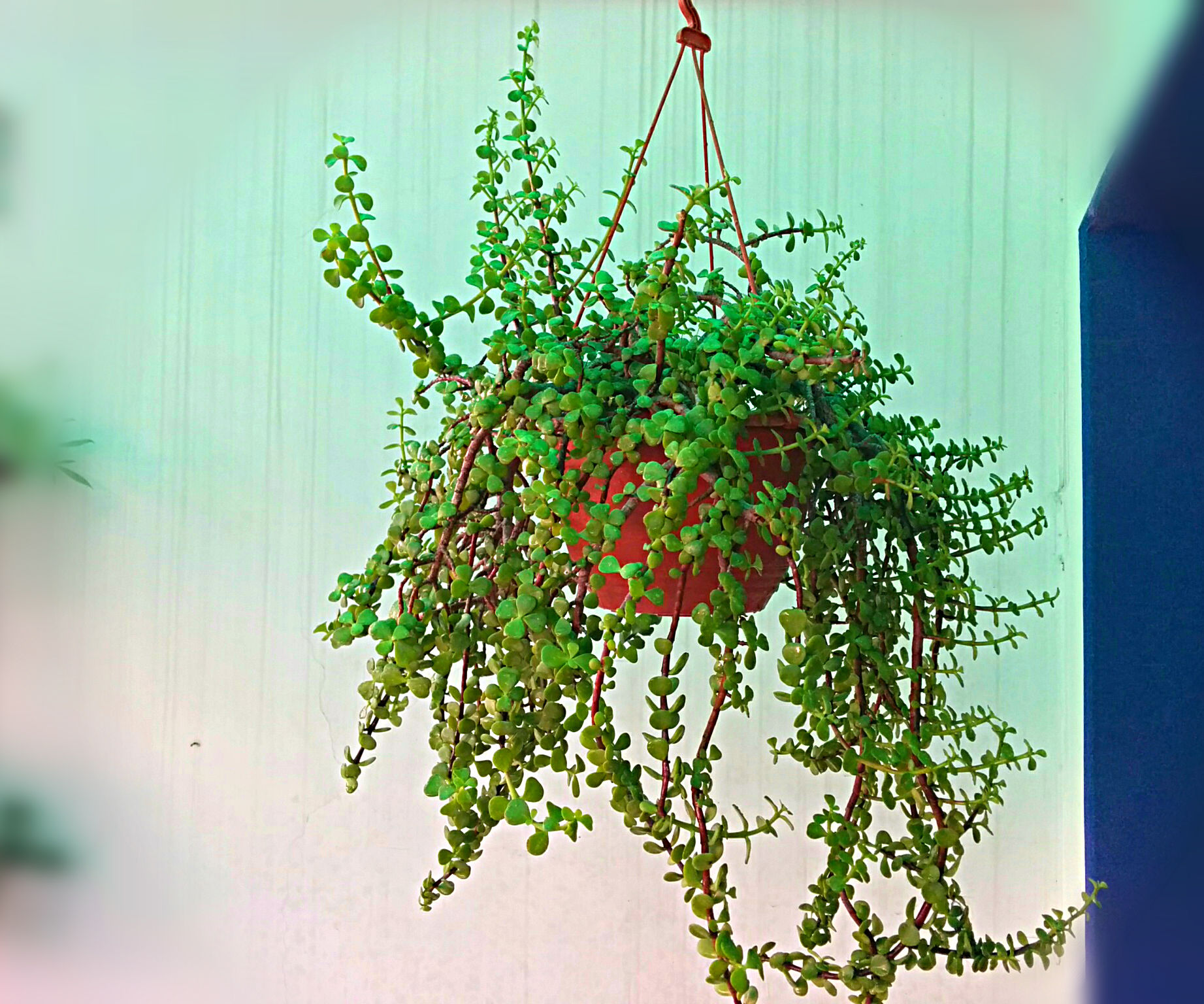Grow magnificent Jade plant in hanging basket easily