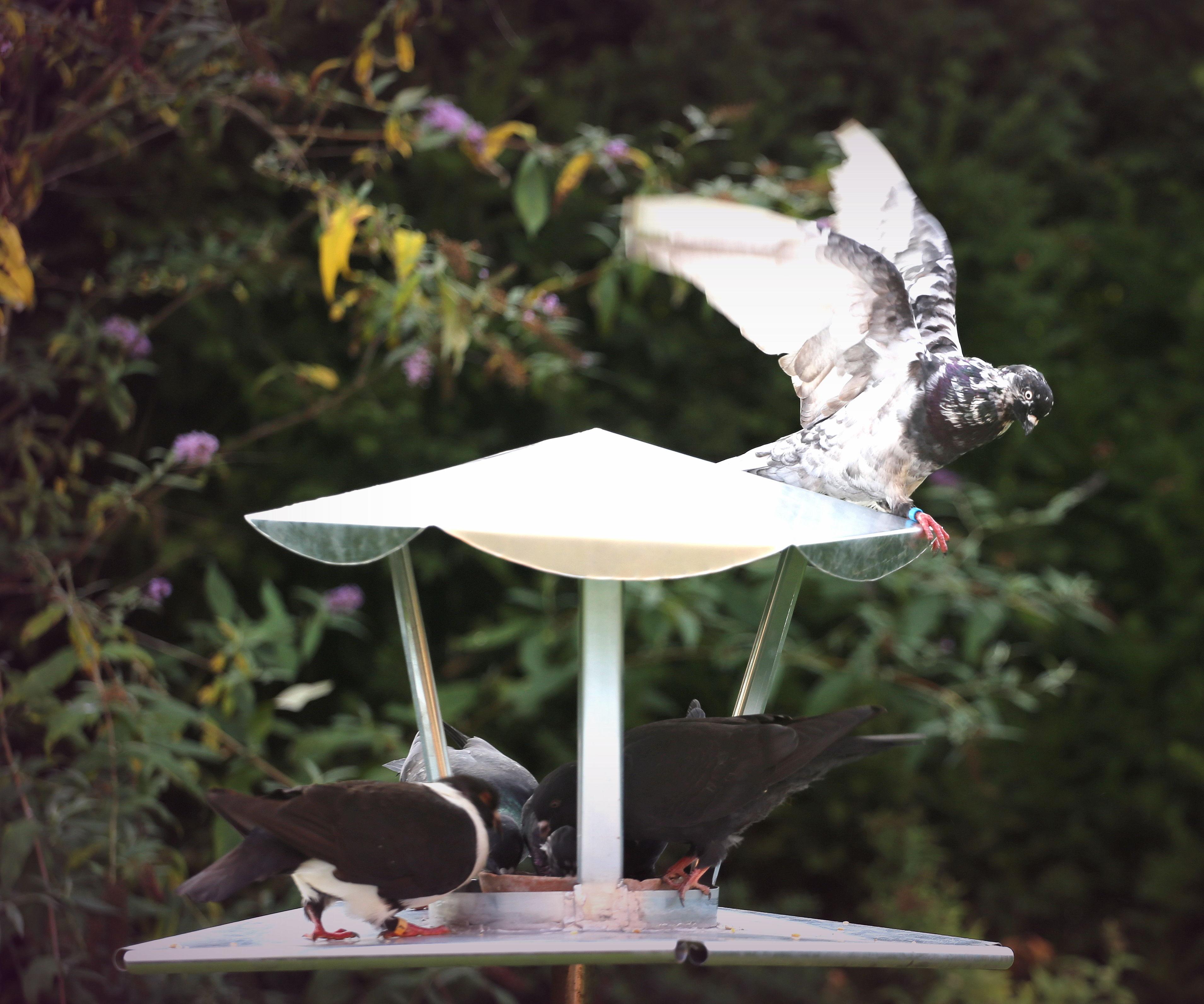 Indistructable   Metal Pigeon/Birdfeeder
