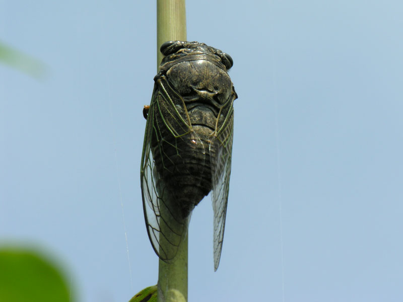 How to Eat Cicada. Get Prepared for Great Famine!