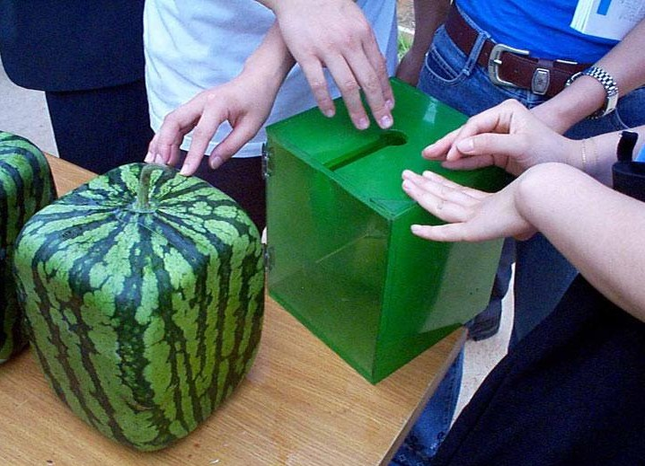 Grow a square watermelon