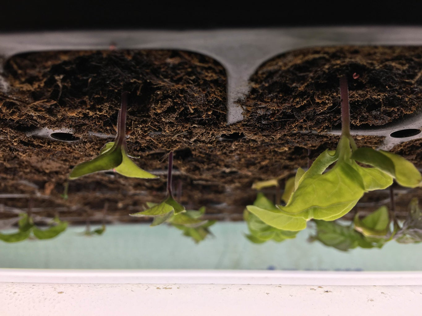 Growing Hot Peppers From Seed