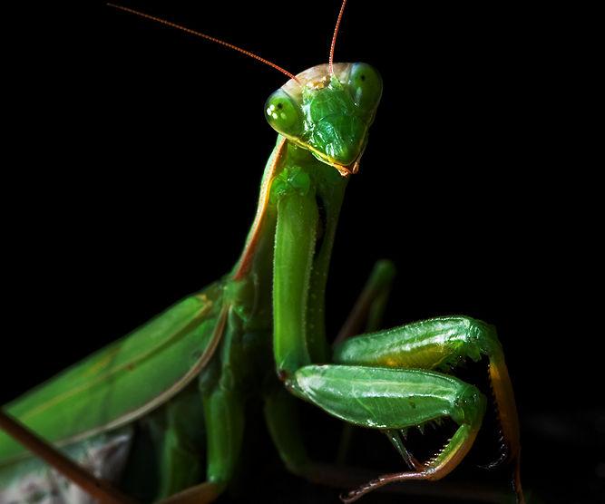 Raising praying mantises