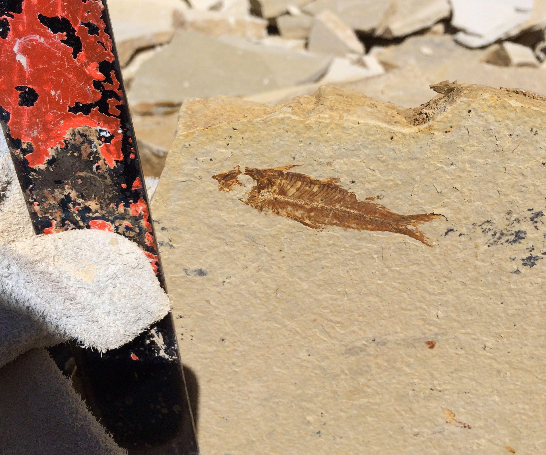 Split Limestone To Find Fossils!!