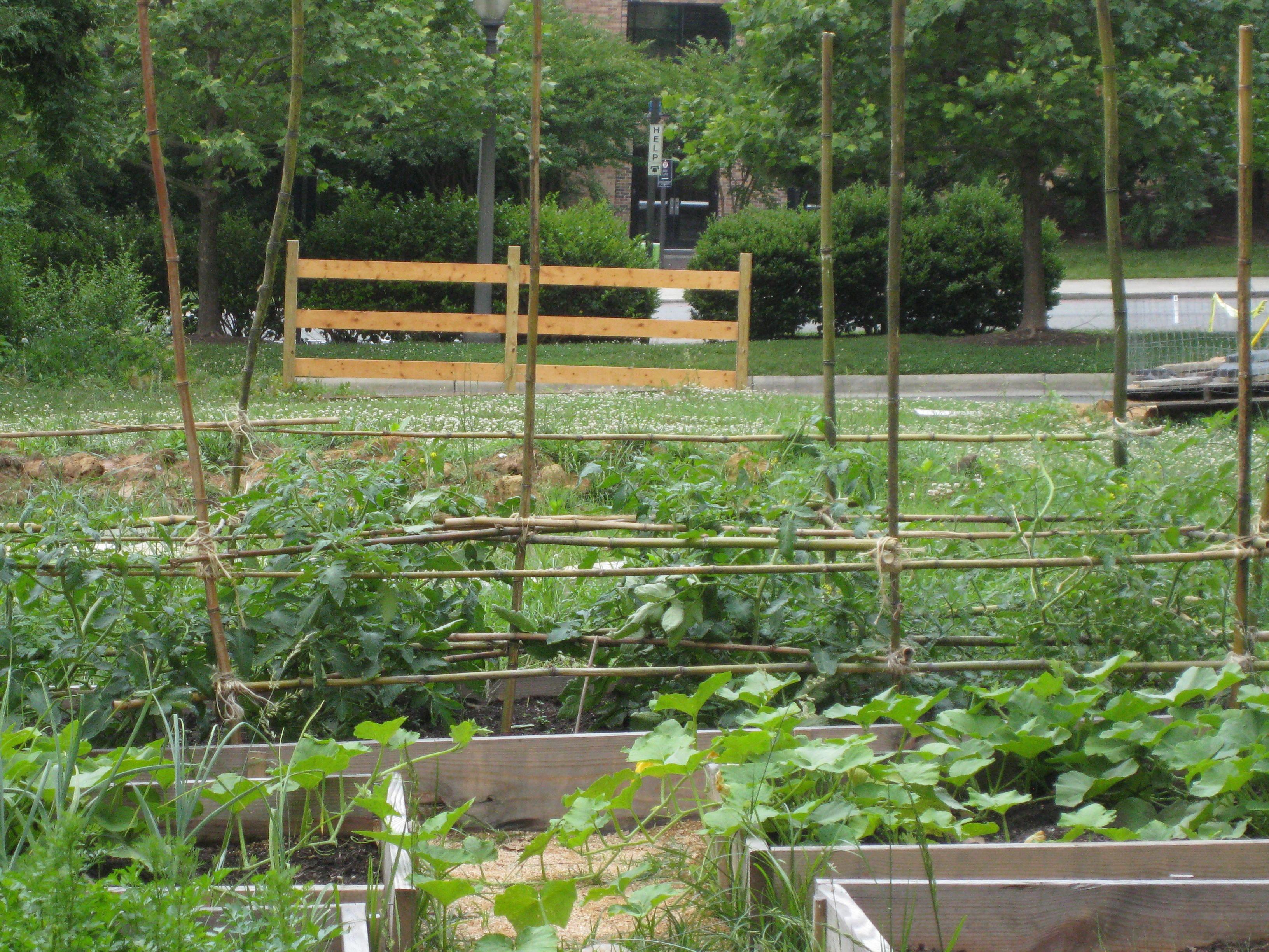 Bamboo Tomato Trellis