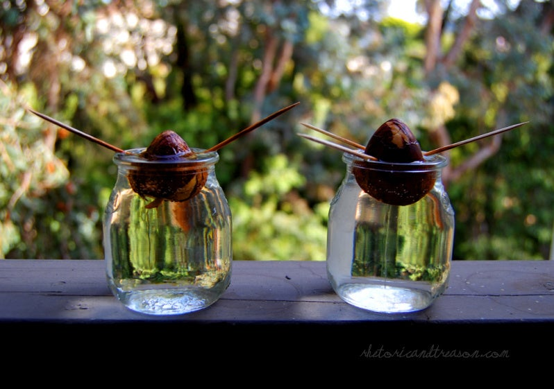 Growing Avocado Plants From Seed 6 Steps With Pictures Instructables