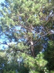 Pine Tree Needles and Inner Bark